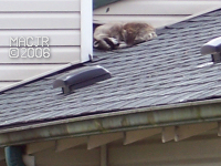 [RooftopRaccoon_P02]