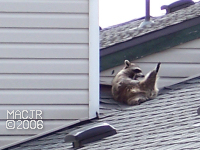 [RooftopRaccoon_P03]