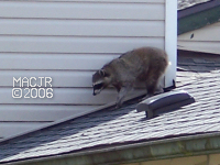 [RooftopRaccoon_P05]