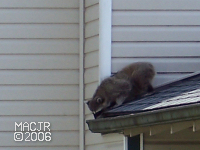[RooftopRaccoon_P06]