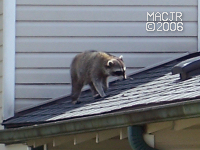 [RooftopRaccoon_P07]